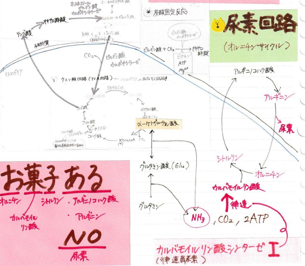 方 尿素 回路 覚え アミノ酸代謝:窒素代謝(尿素回路)を図とゴロで分かりやすく解説
